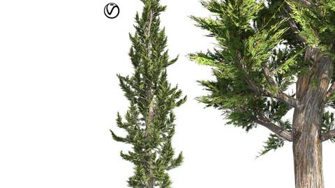 Hollywood Juniper Tree