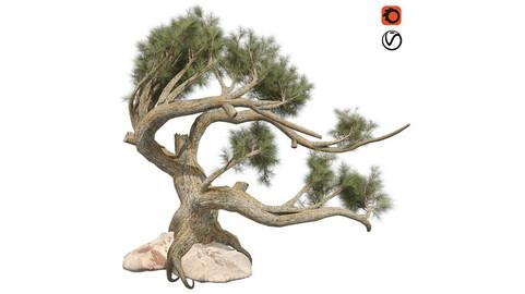 Jeffrey Pine Tree