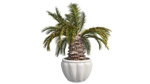 Sago Palm in Pot