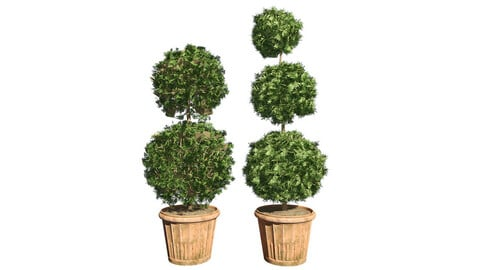American Boxwood Topiary Double Triple in  Pot