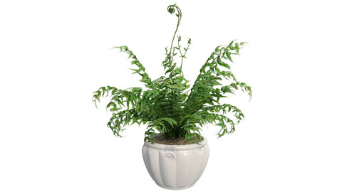 Western Sword Fern in Pot