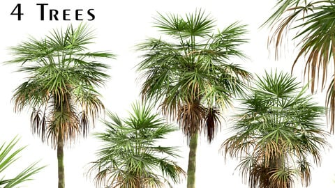 Set of Trachycarpus Fortunei Palm trees (Chinese windmill) (4 Trees)