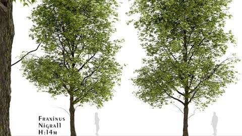 Black Ash Tree (Fraxinus Nigra) (1 Tree)
