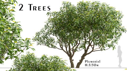 Set of Plumeria Trees (Frangipani) (2 Trees)