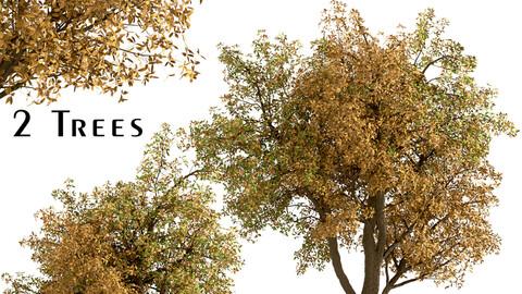 Set of Chestnut Trees (Castanea) (2 Trees)