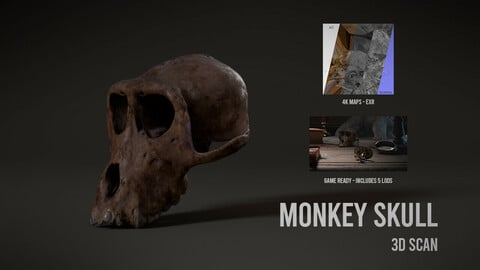 Monkey Skull - 3D Scan with Textures & LODS