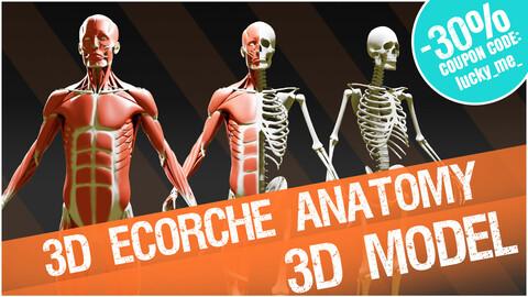 3D écorché - superficial muscles anatomy