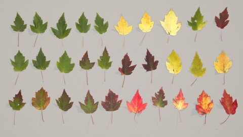 Set of 30 Various Tatarian Maple Leaves PBR