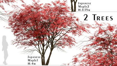 Set of Japanese Maple Trees (Acer Palmatum) (2 Trees)