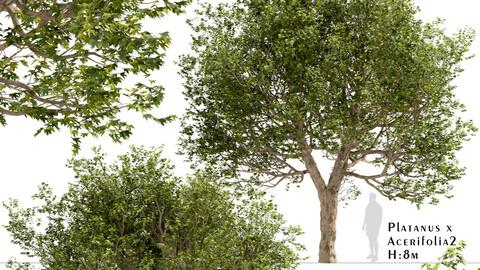 Set of Platanus × acerifolia Trees (London plane) (2 Trees)