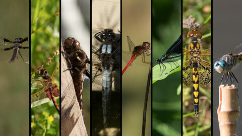 References: Assorted Odonata (Dragonflies and Damselflies)