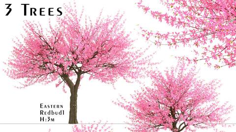 Set of Eastern redbud Trees (Cercis canadensis) (3 Trees)