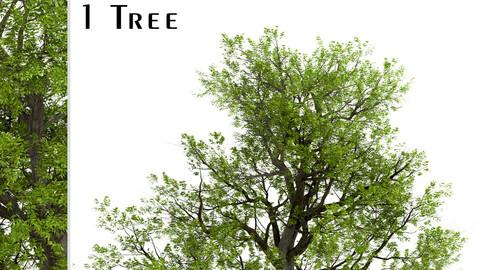 Blue Ash Tree (Fraxinus quadrangulata) (1 Tree)