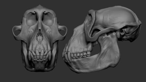 Anatomical ape skull