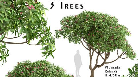 Set of Plumeria rubra Trees (Red frangipani) (3 Trees)