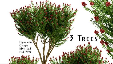 Set of Dynamite Crepe Myrtle Trees (Lagerstroemia) (3 Trees)