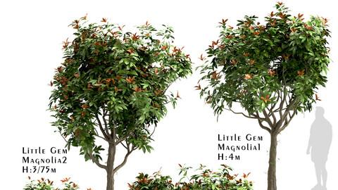 Set of Little Gem Magnolia Trees (Southern Magnolia) (4 Trees)