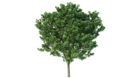 Tree - Elaeocarpus Decipiens No 1
