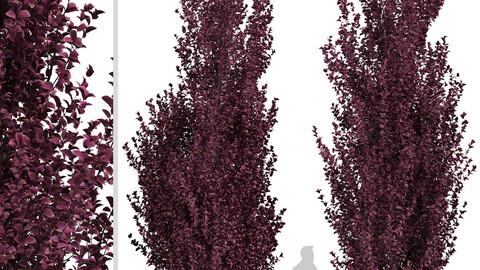 Set of Crimson Pointe Plum Trees (Prunus x Cerasifera) (2 Trees)