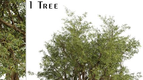 Eucalyptus Red Gum Tree (Eucalyptus camaldulensis) (1 Tree)