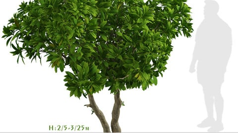 Set of Frangipani Trees (Plumeria) (4 Trees)