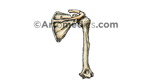 Scapula and Humerus (Posterior view) - Watercolor