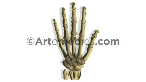Hand Bones (anterior view) - Digital Painting