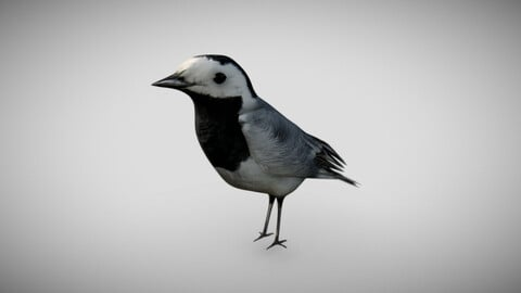 Wagtail - Bird with Animations