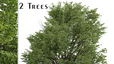 Set of Silver Linden Trees (Tilia tomentosa) (2 Trees)