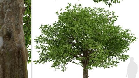American Hornbeam Tree (Carpinus caroliniana) (1 Tree)