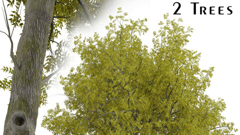 Set of Arizona ash Trees (Fraxinus velutina) (2 Trees)