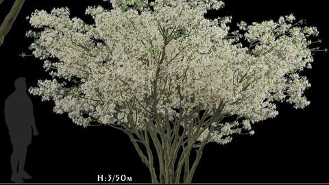 Amelanchier Lamarckii Tree (Juneberry) (1 Tree)