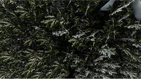 Tree Picea-abies winter