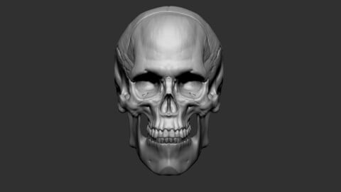 Human Skull Male