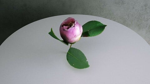 Camellia Japonica Twig 07 with Pink Bud Flower [3d Scan Model: Plants / Flowers]