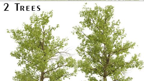 American Sycamore Tree (Platanus Occidentalis) (2 Trees)
