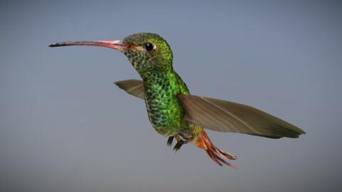 Kolibri - Bird