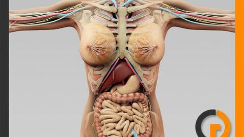 Human Female Anatomy - Body, Skeleton and Internal Organs