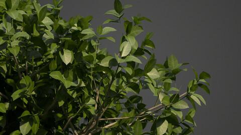 2021 PBR Banyan Collection (Ficus Benghalensis)