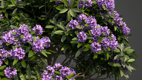 2021 PBR Common Rhododendron Collection (Rhododendron Ponticum)