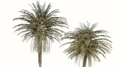 Set of Coconut Palm Trees (Cocos nucifera) (2 Trees)