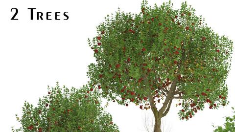 Set of Apple Trees (Malus domestica) (2 Trees)
