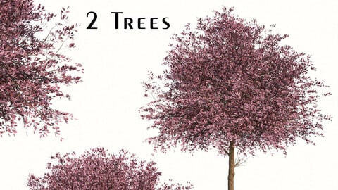 Set of Purple Pony Plum Trees (Prunus cerasifera) (2 Trees)