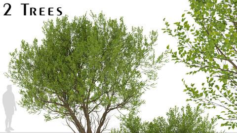 Set of Common Hazel Trees (Corylus avellana) (2 Trees)