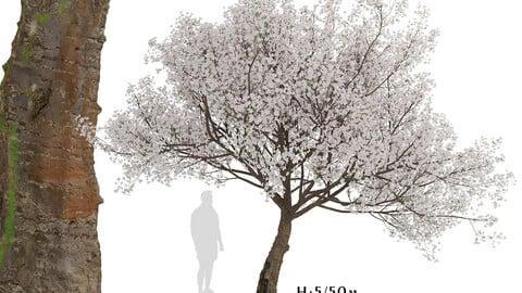 Yoshino Cherry Tree (Prunus yedoensis) (1 Tree)