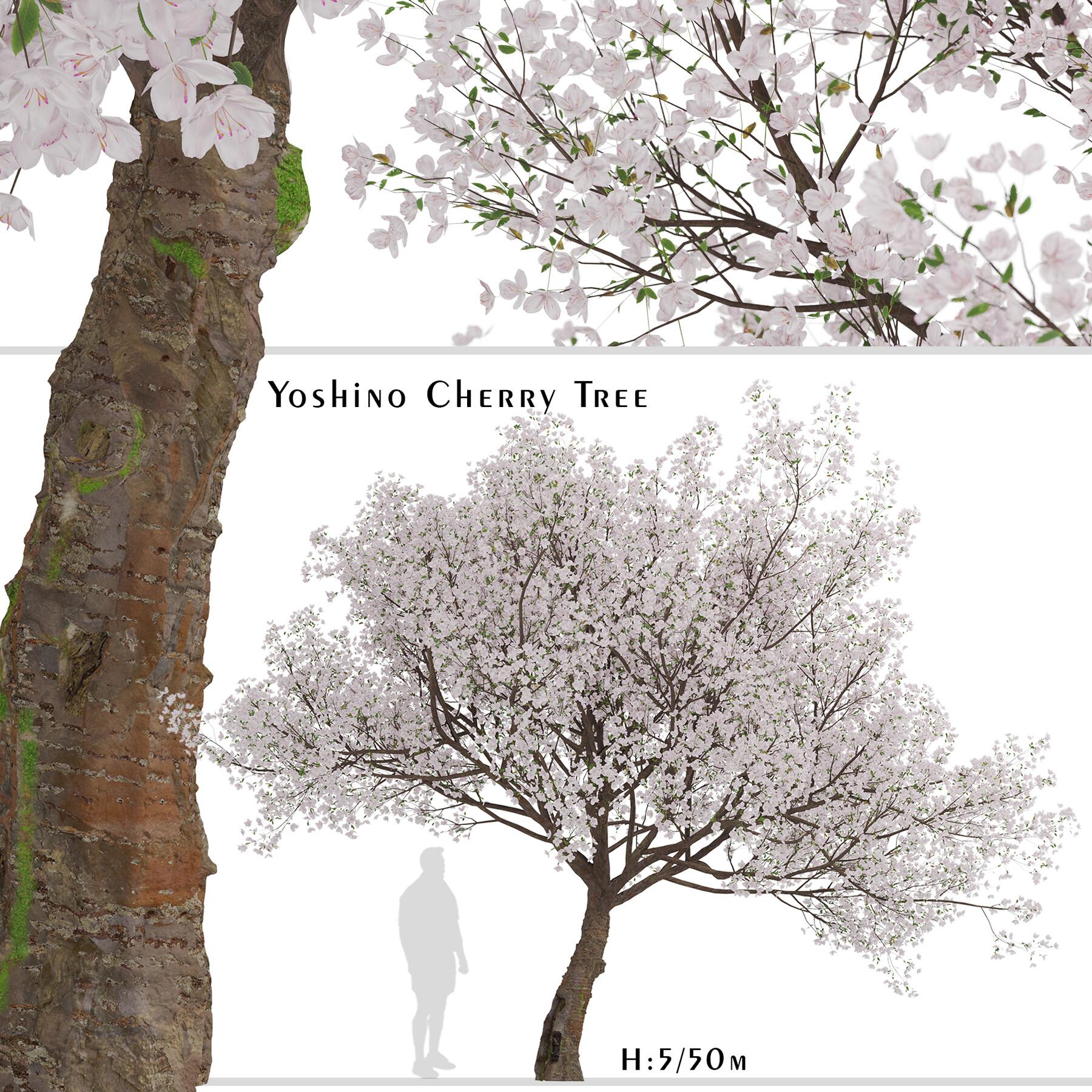 Artstation Yoshino Cherry Tree Prunus Yedoensis 1 Tree Resources