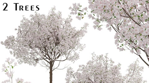 Set of Yoshino Cherry Trees (Prunus yedoensis) (2 Trees)
