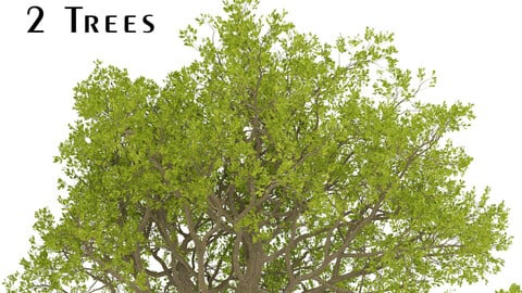 Set of Downy Oak Trees (Quercus pubescens) (2 Trees)