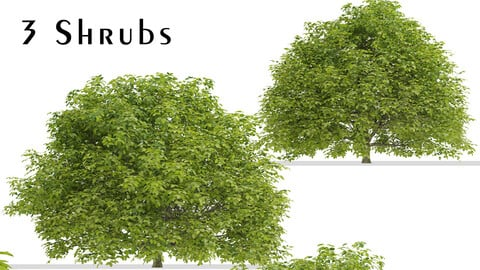 Set of Euonymus japonicus Shrubs (Evergreen spindle) (3 Shrubs)