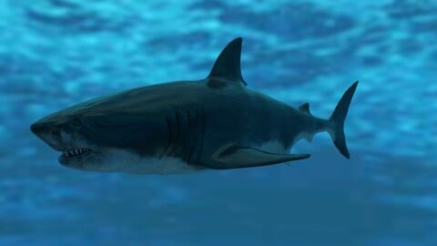 Great White Shark Model 7 animations Pack